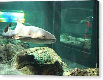 Shark - National Aquarium In Baltimore Md - 12128 Canvas Print by DC Photographer