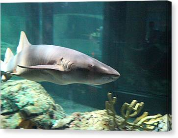 Shark - National Aquarium In Baltimore Md - 12129 Canvas Print by DC Photographer
