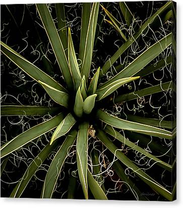Sharp Points - Yucca Plant Canvas Print by Steven Milner