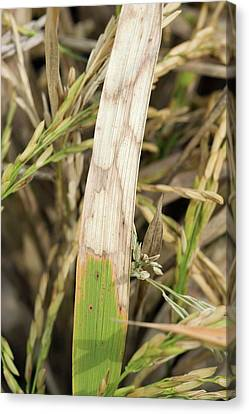 Sheath Blight Disease In Rice Canvas Print by Peggy Greb/us Department Of Agriculture