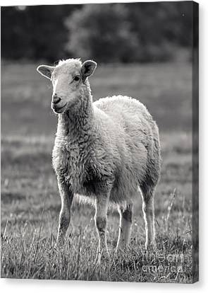 Sheep Art  Canvas Print by Lucid Mood