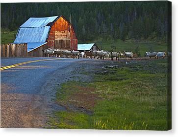 Sheep Crossing Canvas Print by Theresa Tahara