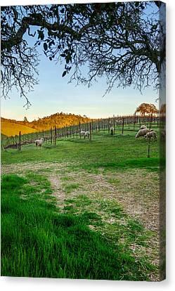 Sheep Feeding In Vineyard Canvas Print by Francesco Emanuele Carucci