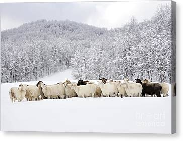Sheep In Heavy Snow Canvas Print by Thomas R Fletcher