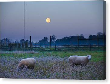 Sheep In The Moonlight Canvas Print by Bill Cannon