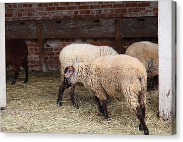 Sheep - Mt Vernon - 01131 Canvas Print by DC Photographer