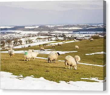 Sheep On Hope Bowdler Hill Canvas Print by Ashley Cooper