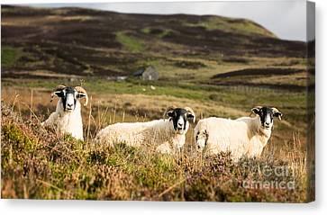 Sheep Trio Canvas Print by Jane Rix