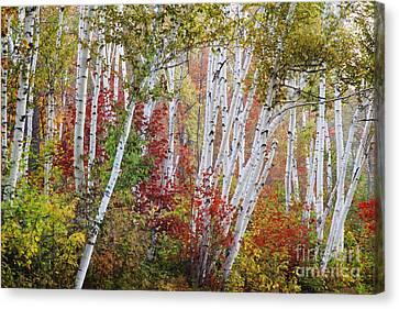 Shelburne Birch Canvas Print by Jim Block