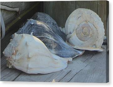Shells Of Portsmouth Island Canvas Print by Cathy Lindsey