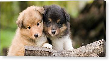 Sheltie Puppies Canvas Print by Marvin Blaine