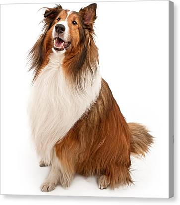 Shetland Sheepdog Isolated On White Canvas Print by Susan  Schmitz