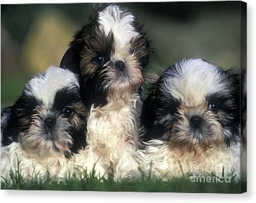 Shih Tzu Puppy Dogs Canvas Print by Jean-Michel Labat