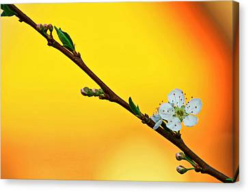 Shining Sakura Canvas Print by Suradej Chuephanich