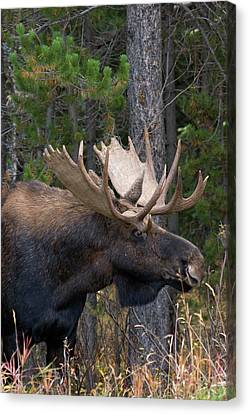 Shiras Bull Moose Canvas Print by Ken Archer