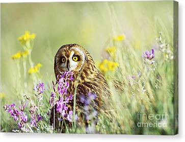 Short-eared Owl Canvas Print by Thomas and Pat Leeson