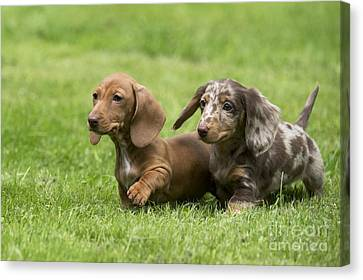 Short-haired Dachshund Puppies Canvas Print by John Daniels