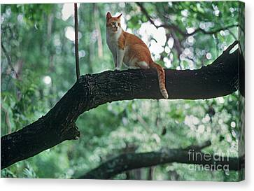 Shorthair Cat Canvas Print by James L. Amos