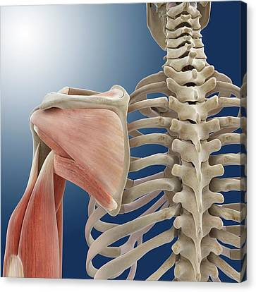 Shoulder And Arm Anatomy Canvas Print by Springer Medizin