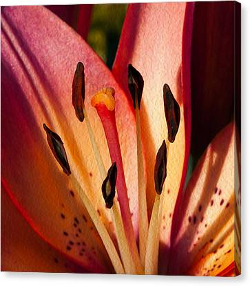 Shy Pink Lily Canvas Print by Omaste Witkowski