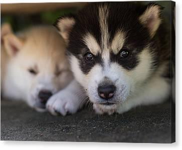 Siberian Husky Pups Canvas Print by Benita Walker