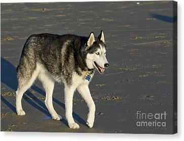 Siberian Husky Walking On Beach Canvas Print by William H. Mullins