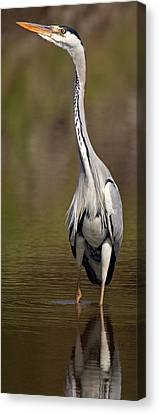 Side Profile Of A Grey Heron Ardea Canvas Print by Panoramic Images