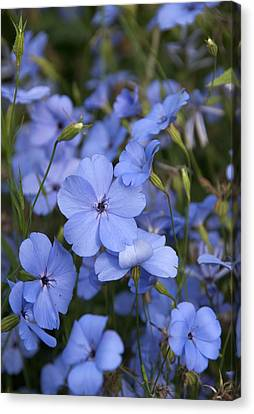 Silene Coeli-rosa 'blue Angel' Canvas Print by Science Photo Library