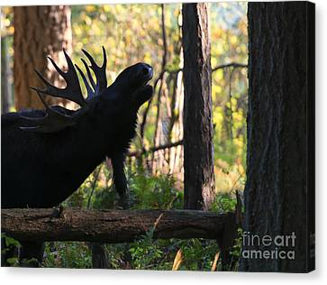 Singing Moose Canvas Print by Mike Dawson