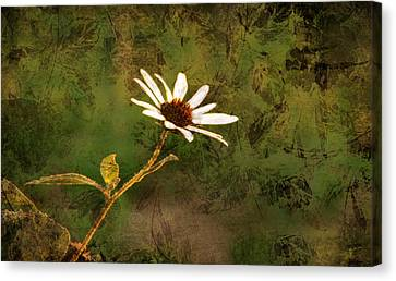 Single White Daisy  Canvas Print by Beverly Guilliams