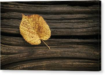 Single Yellow Birch Leaf Canvas Print by Scott Norris