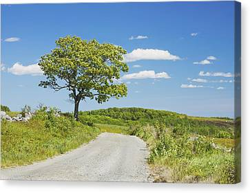 Sinlge Tree And Dirt Road  In Spring Blueberry Field Maine Canvas Print by Keith Webber Jr