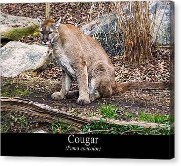 sitting Cougar Canvas Print by Chris Flees