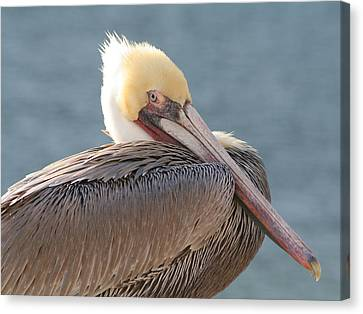 Sitting Pretty Pelican Canvas Print by Bob and Jan Shriner