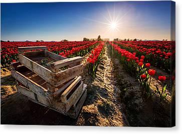 Skagit Valley Tulip Festival Canvas Print by Alexis Birkill