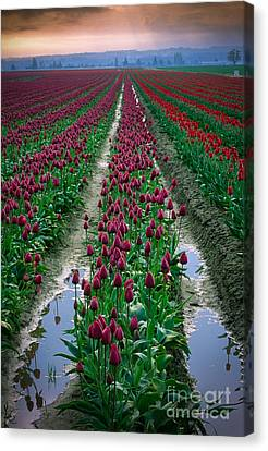 Skagit Valley Tulips Canvas Print by Inge Johnsson