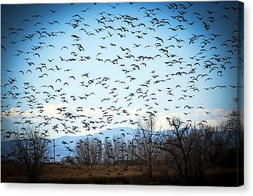 Skein Of Geese Canvas Print by Marilyn Hunt