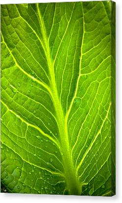 Skunk Cabbage Leaf With Water Drops Canvas Print by Jeff Sinon