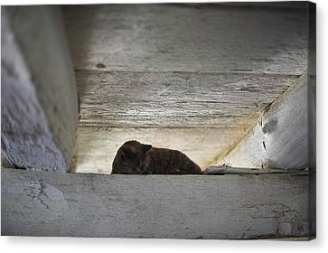 Sleeping Barn Cat  Canvas Print by Terry DeLuco