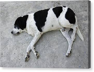 Sleeping Dog Lying On The Ground Canvas Print by Matthias Hauser