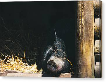Sleeping Potbelly Pig Canvas Print by Pati Photography