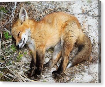Sleepy Fox Kit Canvas Print by Vicki Jauron