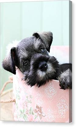 Sleepy Mini Schnauzer Canvas Print by Stephanie Frey