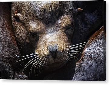 Sleepyhead Sea Lion Canvas Print by Mark Kiver