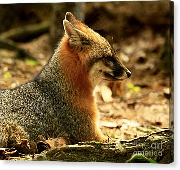 Sly Rare Grey Fox  Canvas Print by Inspired Nature Photography Fine Art Photography