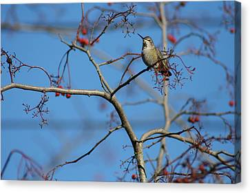 Small Yet Mighty - Hummingbird In Tree - Nature Canvas Print by Quin Sweetman