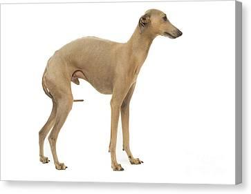 Small Italian Greyhound Canvas Print by Jean-Michel Labat