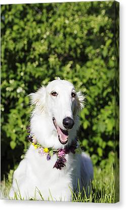 Smiling Borzoi Dog Canvas Print by Christian Lagereek