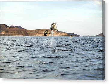Smoothtail Mobula Rays Leaping Canvas Print by Christopher Swann