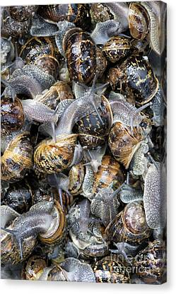 Snails Canvas Print by Tim Gainey